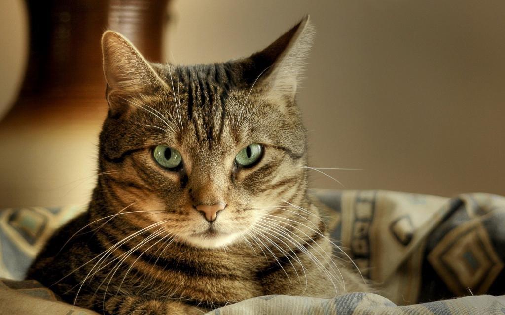 Пронзительный взгляд кота.